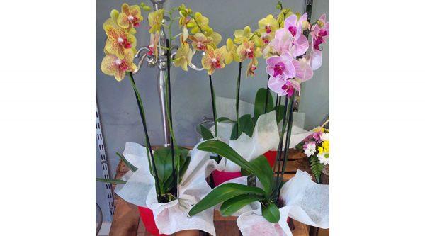 Orquídea para nacimiento